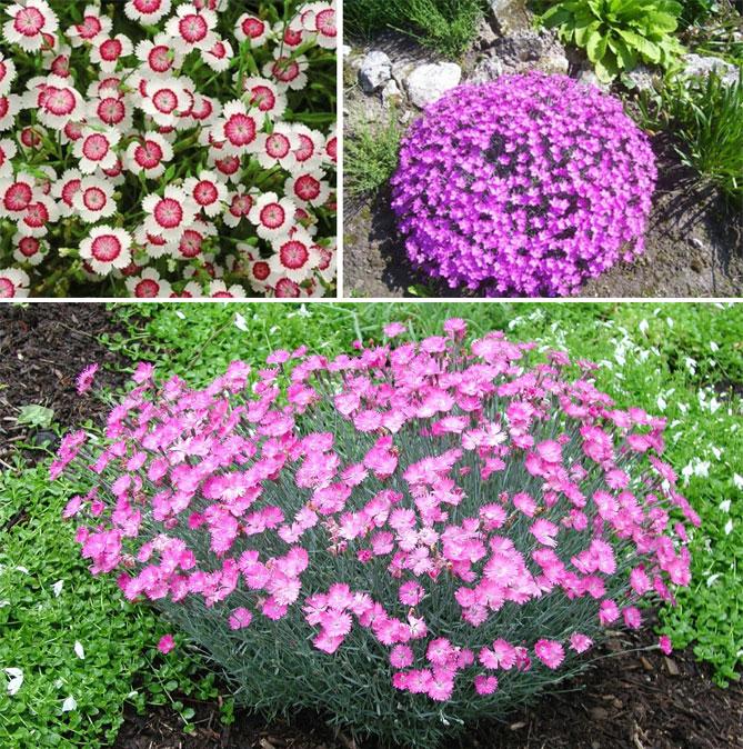 низкорослые многолетники цветы для дачи фото с названиями каталог интересное, что